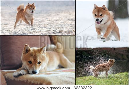 Collage Of Shiba Inu Dog In Action