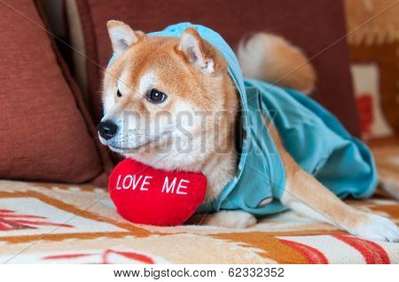 Cute Shiba Inu Dog Laying On Bed With Red Heart