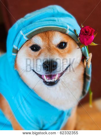 Happy Smile Form Shiba Inu Dog With Blue Jacket, Hood And Red Rose