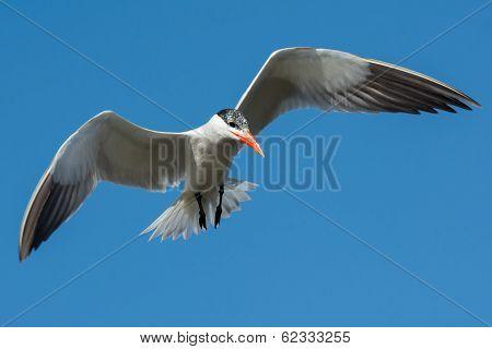 Caspian Tern Hovering In Flight