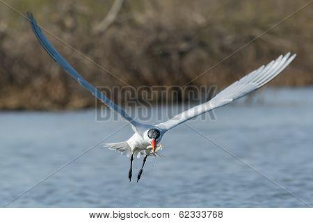 Caspian Tern In Flight With Two Fish In Its Beak