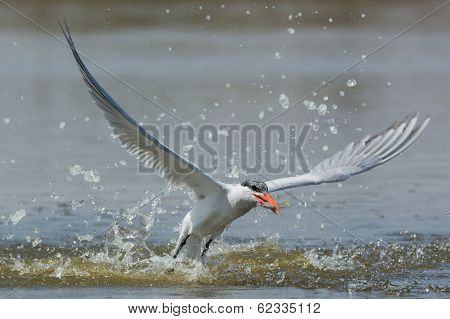 Caspian Tern Resurfacing With A Fish After Impressive Impact