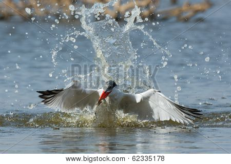 Caspian Tern Resurfacing With A Fish