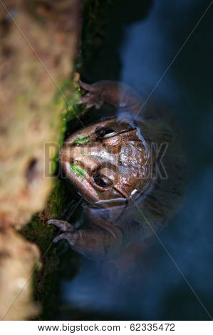 Toad In Water Close Up