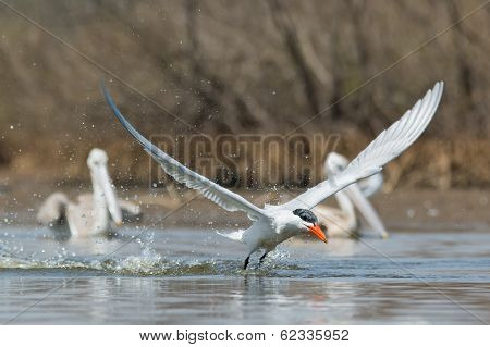 Caspian Tern Taking To The Air In Front Of Two Pelicans