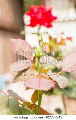 Closeup Red Rose Bud With Dew Drop
