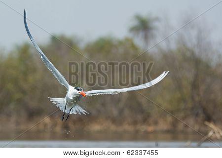 Dripping Wet Caspian Tern In Flight