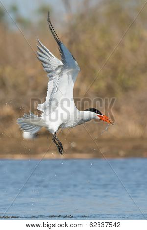 Dripping Wet Caspian Tern With A Fish Gaining Altitude
