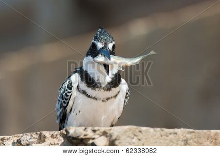 Pied Kingfisher (ceryle Rudis) Holiding A Large Fish