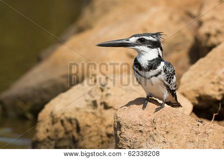 Pied Kingfisher (ceryle Rudis) Perched On A Rock