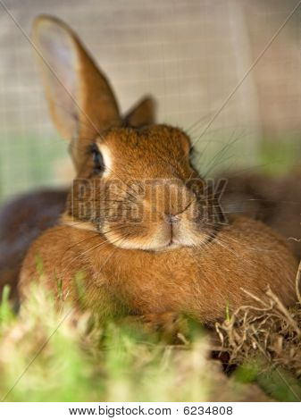 Resting Adult Rabbit
