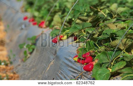 Growing Strawberries On A Farm