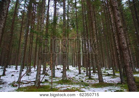 Woods In The Snow