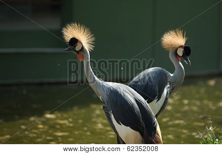 Two Crowned Cranes