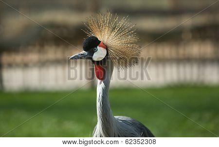 Head Shot Bird Of Grey Crowned Crane