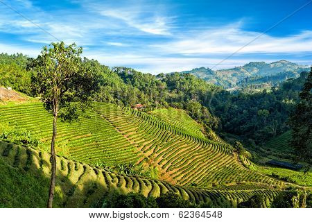Tea Plantation Landscape Under Blue Cloudy Sky. Chaing Rai Province, Thailand