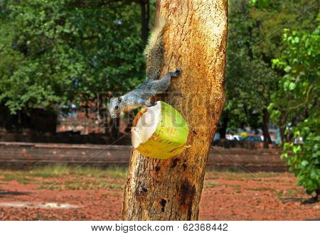 Squirrel Or Small Gong, Small Mammals Native To The Tropical Forests At Thailand, Variable Squirrel