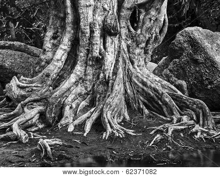 Large Tree Roots