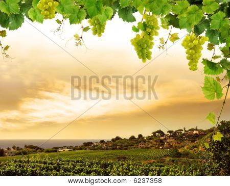Grapevine and landscape with vineyard