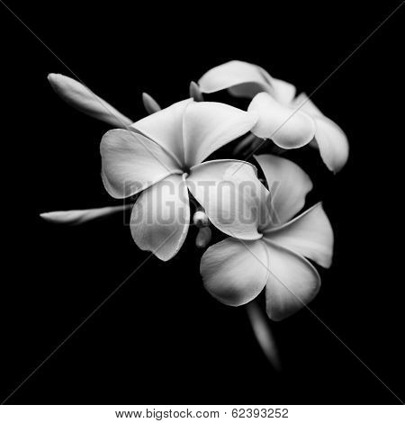 Beautiful White Flowers Of Plumeria Isolated On Black Background