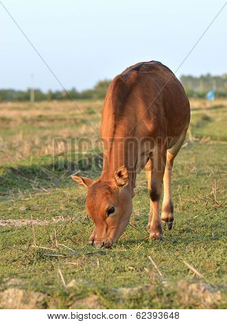 Cattle grazing in the outdoor fields