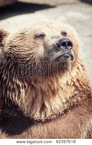 Posing Brown Bear