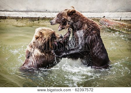 Two Brown Bears Fighting In The Water