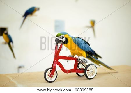 colorful macaw parrot riding on bicycle