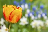 stock photo of daffodils  - Dreamly soft spring garden with a beautiful red and yellow tulip in the foreground and white daffodils and blue muscari in the background - JPG