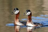 stock photo of grebe  - Red Necked Grebe in its natural habitat - JPG