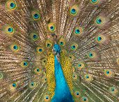 stock photo of peahen  - Close - JPG