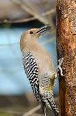 Gila Woodpecker, Male