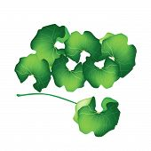 Fresh Centella Asiatica Plant On White Background