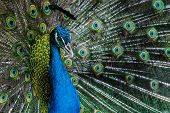 stock photo of peahen  - Portrait of beautiful bright color peacock with feathers out - JPG