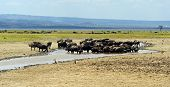 picture of cape buffalo  - Cape Buffalo in Lake Nakuru National Park in Kenya - JPG
