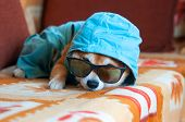 Sad Shiba Inu Dog With Blue Jacket, Hood And Glasses
