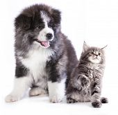 stock photo of coon dog  - puppy and kitten breeds Maine Coon - JPG