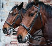 picture of bareback  - pair of beautiful horses with brown hair with extraordinary expressive look - JPG