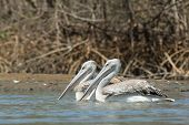 Two Pink-backed Pelicans Floating In The Mangroves
