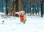picture of freezing temperatures  - Young golden retriever run at the snow in winter park - JPG
