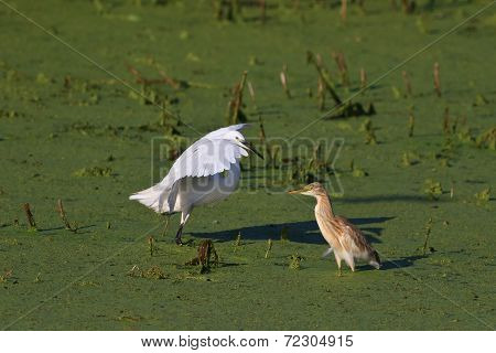 Little Egret And Squacco Heron