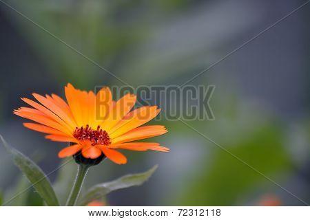 beautiful orange flower on blurred background