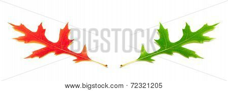Red And Green Oak Leafs (quercus Palustris)