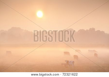 Sunrise Over Misty Pasture With Cows