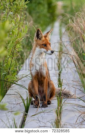 wild fox on the trail