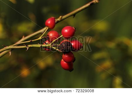 Briar Bushes In The Countryside. Raw Material For Healthy Fruit Tea