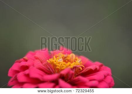 Closeup On Red Flower Background