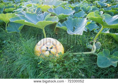 Pumpkin Cucurbita  In Grass