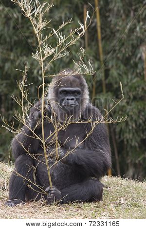 Gorilla Holding a Branch