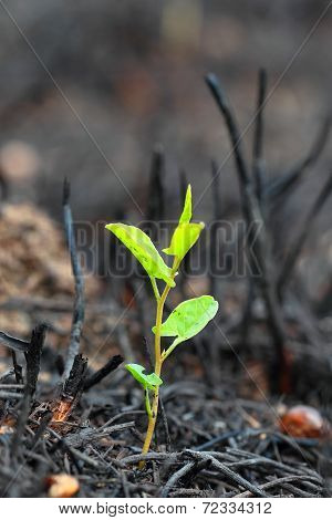 young green sprout after fire.